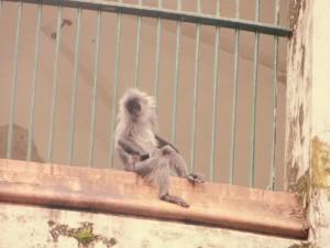 jailbird monkeys 3