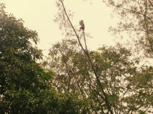jailbird monkeys