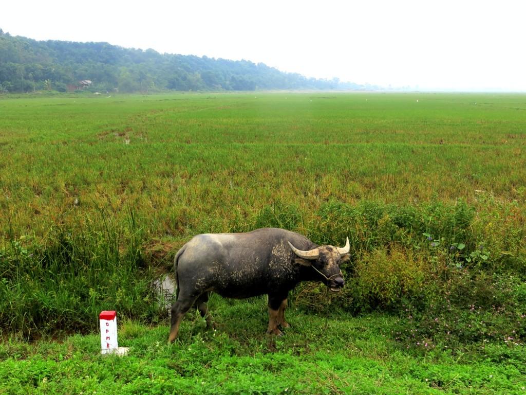 Travel Vietnam Oxen