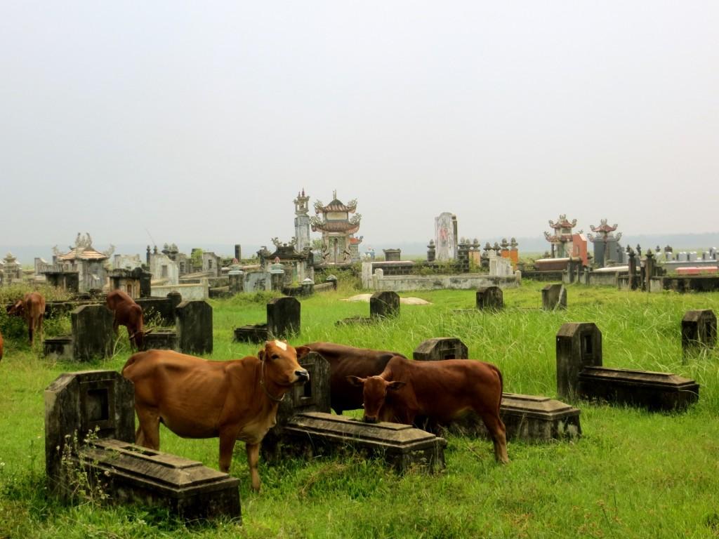 Travel Vietnam cemetary cows