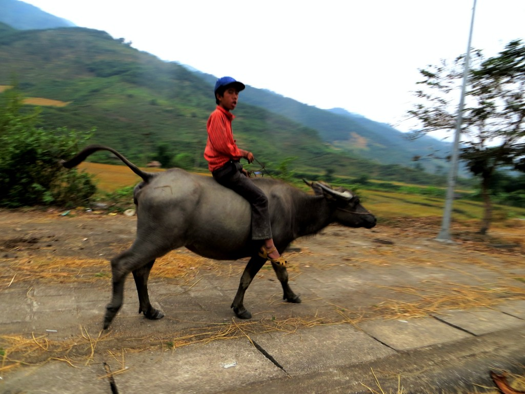 Travel Vietnam Dien Bien riding oxen